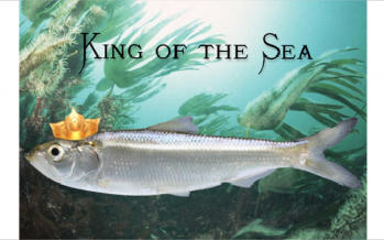 How the Herring Became 'King of the Sea'
