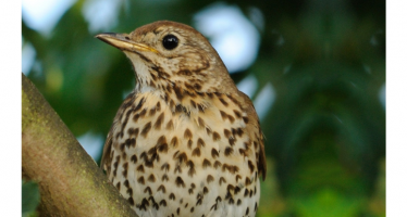 Song of the Thrush