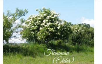 Tramman – The Elder Tree