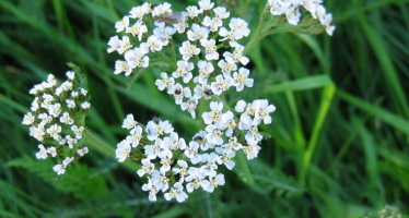 Lus y Wooishall – The Wishing Herb – Yarrow